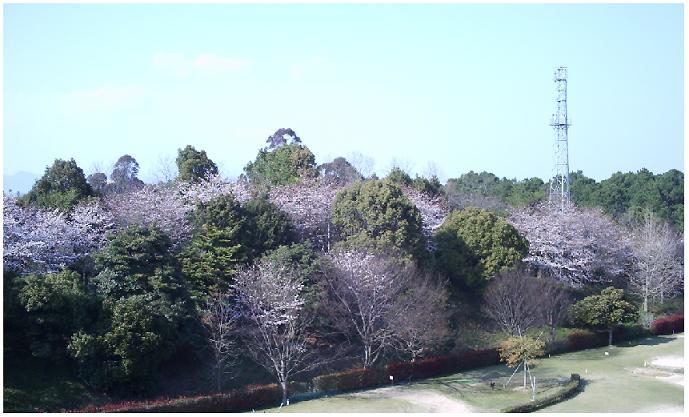 会場付近は桜満開