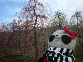 キレイな枝垂れ梅