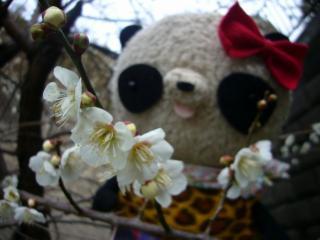 梅の花もだいぶ咲きました