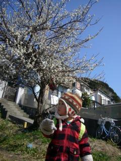 ゆーひ君と梅の木撮影2011年