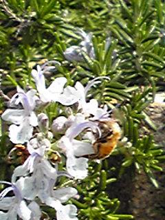 ローズマリーとハチ