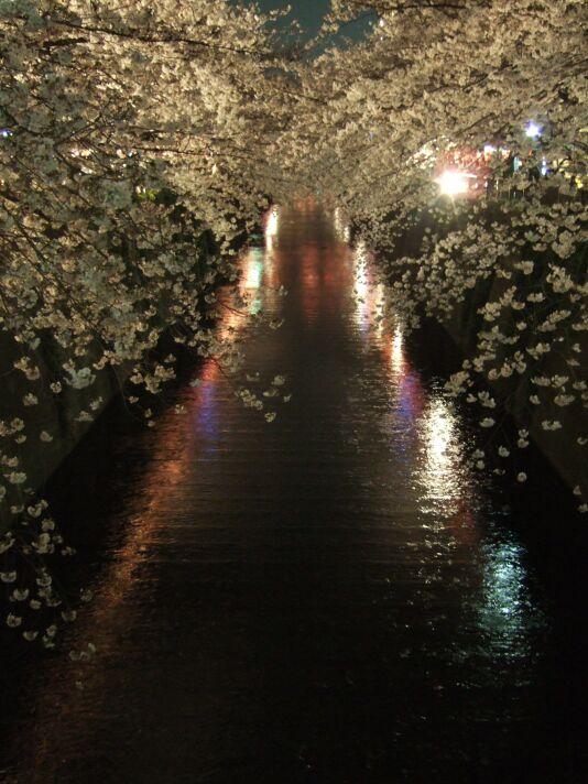 目黒川の夜桜(その2)