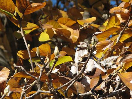 ハクモクレンの花芽