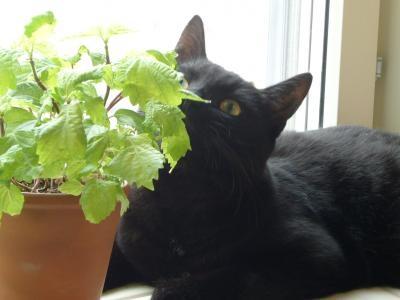 シソ越しの美猫