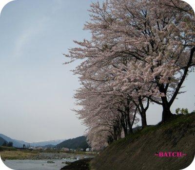 2sakura1.jpg