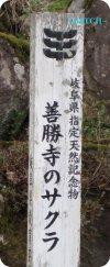 2sakura5.jpg