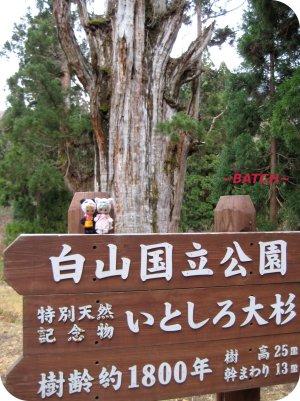oosugi2.jpg