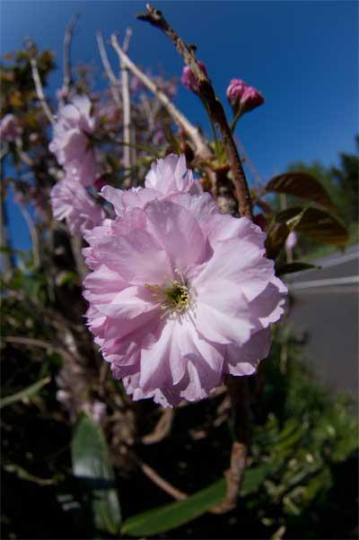 _IGP8652今頃桜が咲いてます