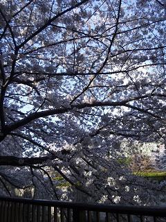 目黒川の桜②