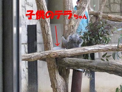 コアラさん