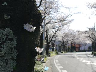 桜2010.3.29