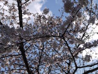 桜2010.3.29-2