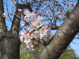 327の桜
