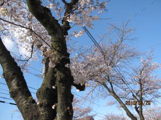 329の桜