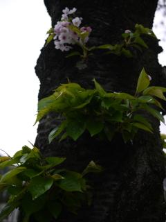 4.11桜
