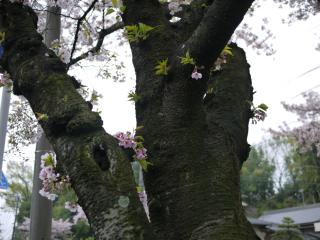 桜4.11
