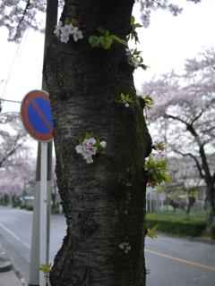 4.11桜2