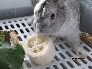 へちまを食べるラビ