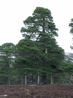 250px-Pinus_sylvestris1.jpg