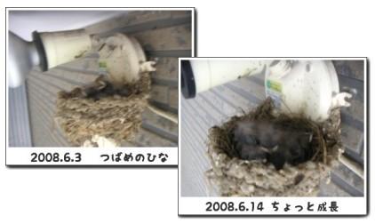 2008年のツバメの巣