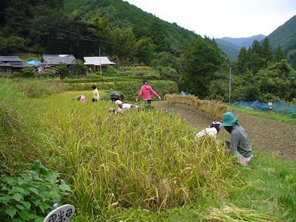 黒米稲刈り1