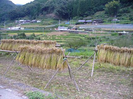 稲刈り17
