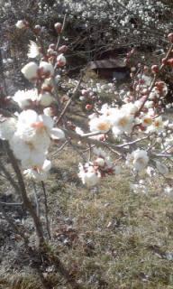 110204_1428~01梅の花立春