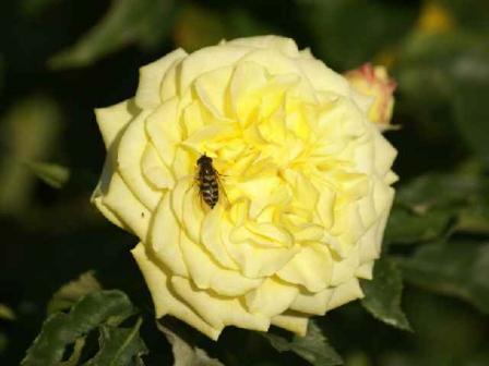 大野バラ公園のバラ4