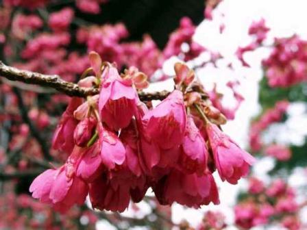 寒緋桜[かんひざくら]