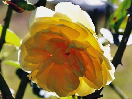 麝香薔薇[じゃこうばら]