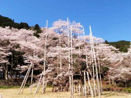 2010.4.8淡墨桜