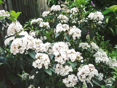 カルミア(アメリカ石楠花)