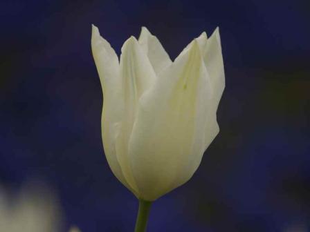 ホワイトトライアンファター(ユリ咲き)2