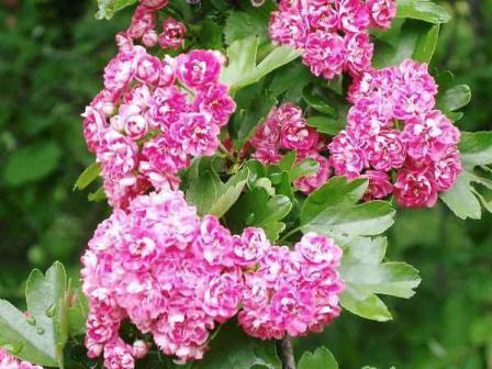 さんざしの花
