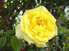 薔薇 (ばら)
