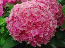ハイドランジア(西洋紫陽花)