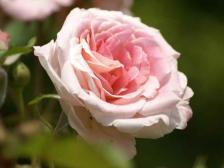 ピンク クラウド 蔓バラ アメリカ産