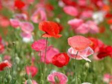 ケシの花(赤)