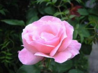 薔薇(ばら)