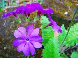 スグリ(酸塊)の花