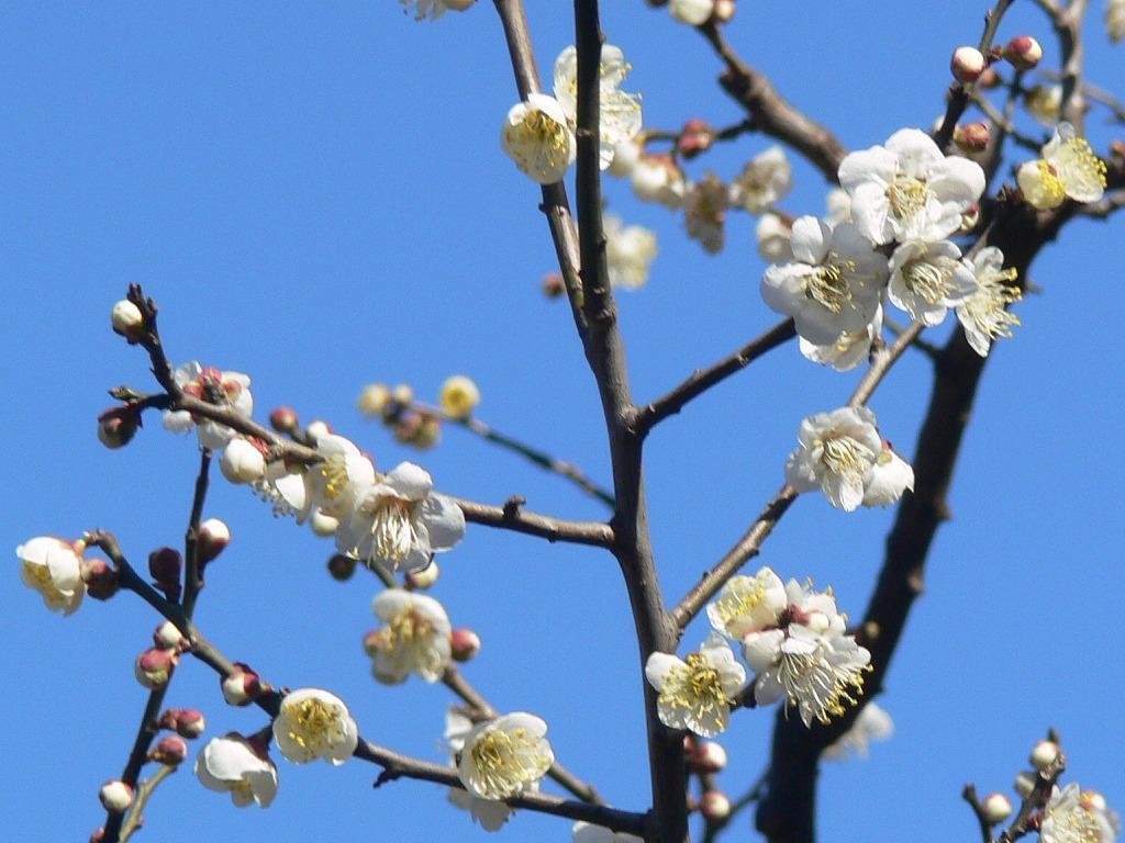 総合公園の梅