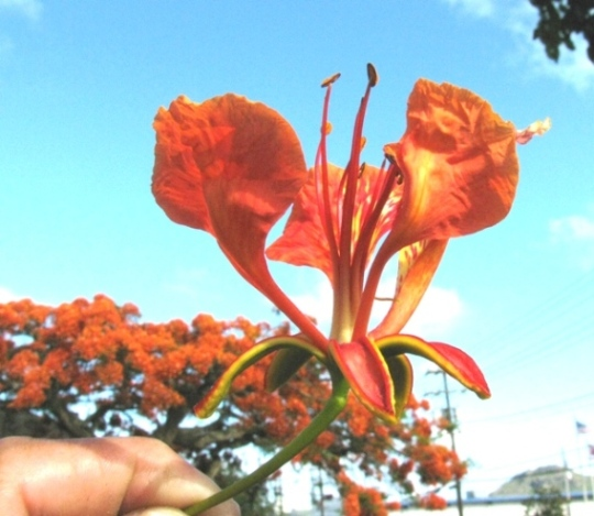 Poinciana Tree Flower