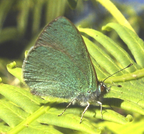 Hawaiian Blue Butterfly