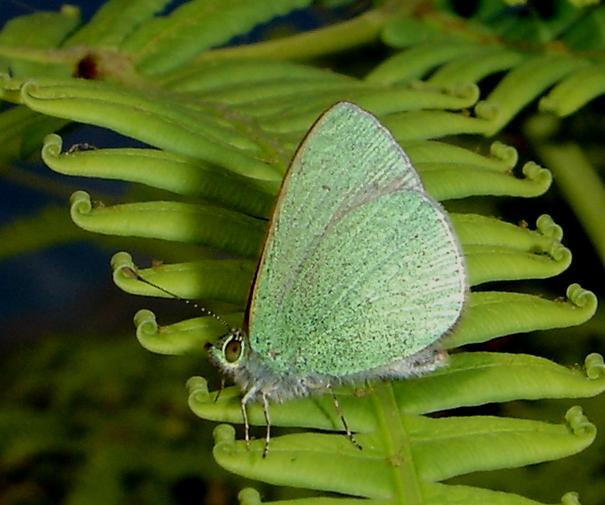 Hawaiian Blue Butterfly