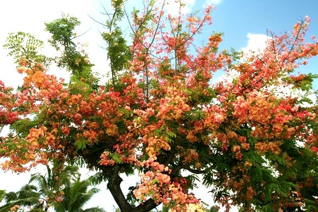 Raibow Shower Tree