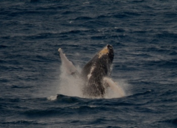 Humpback Whale Zato Kujira