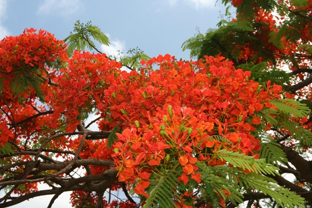 Royal Poinciana Flower