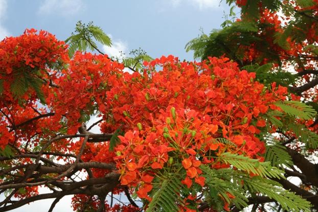 Royal Poinciana Flower
