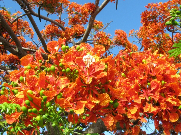 Poinciana Tree Flowers