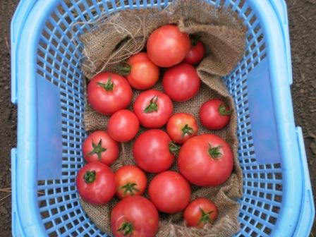 朝採りトマトちゃん